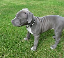 Gorgeous Baby, Blue Pit Bull Puppy Dog With Wrinkles by Christy Carlson