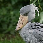 Shoebill in Singapore by ellismorleyphto
