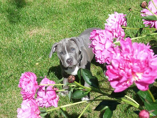 Gorgeous Baby Pit Bull Puppy Dog in Peony Flowers by Christy Carlson