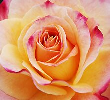 Hybrid Yellow Tea Rose by Emma Stone