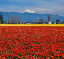 Skagit Valley Tulip Fields by RavenFalls