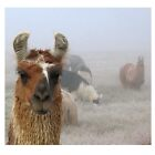 Foggy Llamas by Jerome Petteys