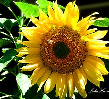 Sunflower by Julia Harwood