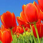 Tulip garden by gianliguori