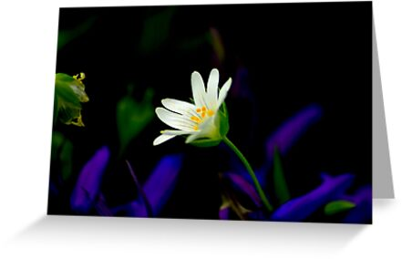 Stitchwort by Trevor Kersley