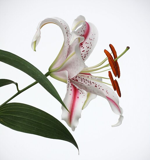Lily by OldaSimek