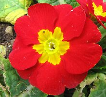 A Red Primrose by rasim1