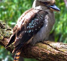 Kookaburra by Julia Harwood