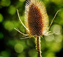 Thistle in Bokeh by Barbara  Brown