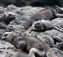 Iguanas on the Lava (Galapagos) by BGpix
