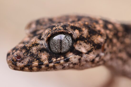 Granite Thick Tailed Gecko by Steve Bullock