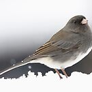 Dark-eyed Junco in the snow by okcandids