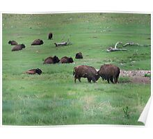 Buffalo Relaxing in Custer State Park Poster