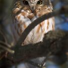 Northern Saw-Whet Owl - Amherst Island by Michael Cummings