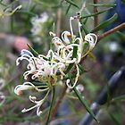 Alpine grevillea, Tasmania's only native grevillea by Jane Bouchard