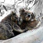 Koalas Baby and Mum by fantastisch2003