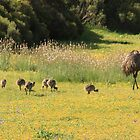 Emu Family - Pt Lincoln, South Australia by Rosdenphoto