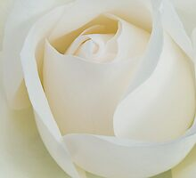 White Rose by AnnieD