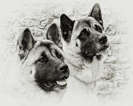 Akitas  by Susie Peek