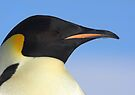 Emperor Penguin Headshot by Steve Bulford