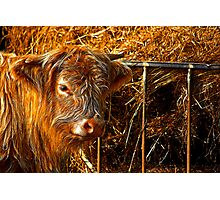 Highland Cow #1 Photographic Print