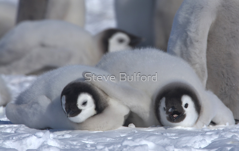 Emperor Penguin Chicks - Snow Hill Island by Steve Bulford
