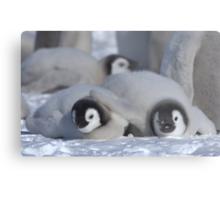 Emperor Penguin Chicks - Snow Hill Island Metal Print