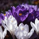 Crocus by Mike Oxley