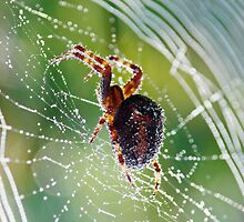 Web Spinner by Curtis  Sheppard