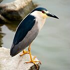 Black Crowned Night Heron by Jerry Segraves