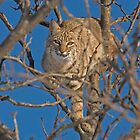 Bobcat by Jerry Segraves