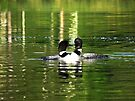 Loons in love by Jim Cumming