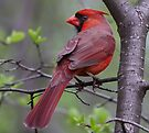 Northern Cardinal  by Jim Cumming