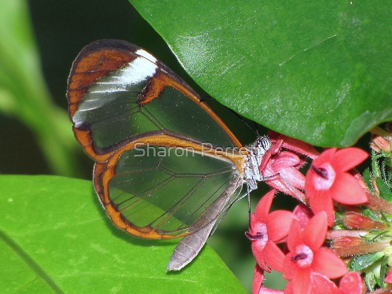 Glasswing 01 by Sharon Perrett