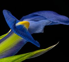 Blue Iris by (Tallow) Dave  Van de Laar