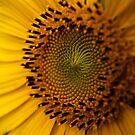 Sunflower by Samuel Gundry