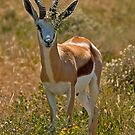 Springbok (Antidorcas marsupialis) by Konstantinos Arvanitopoulos