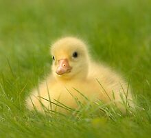 Baby Goose by okkibox