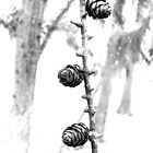 Winter Fir Cones on a Larch Twig  by Daisy-May