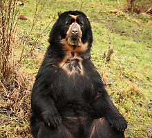 Are you sitting comfortably? Spectacled bear. by kkimi88