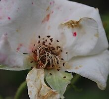 "Rosa ""Iceberg"" decaying by Julie Sherlock"