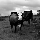 how now, brown cow? by Bronwen Hyde