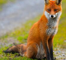 Red  Fox .Ireland by EUNAN SWEENEY