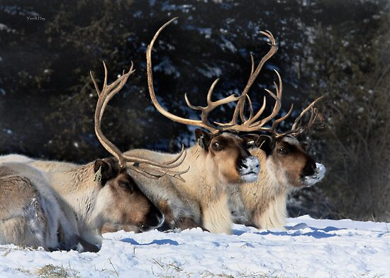 Dasher, Dancer and Prancer, Santa Claus' Reindeers by Yannik Hay