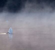 Swan in the early morning mist 4 by Kim  Ayres