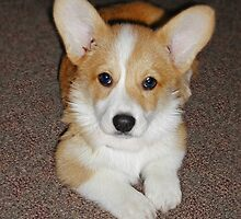Corgi Puppy by livinginoz