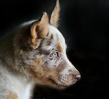 Profile Portrait of a Koolie pup. by Lyn  Thomsen