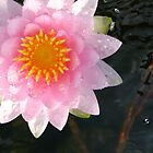 Pink water lily with splash bubbles by Nicole Meyer