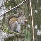 Grey Squirrel by floridan