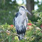 The Elegant Great Blue Heron by floridan